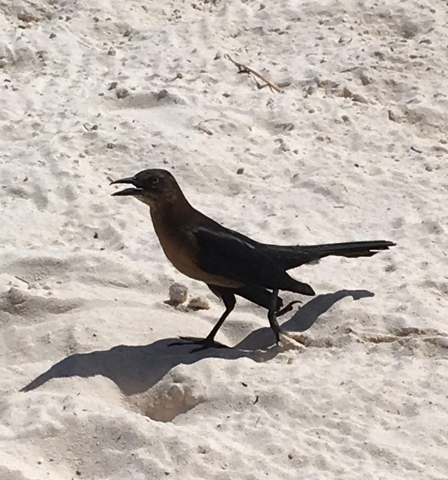 Grackle on the beach.