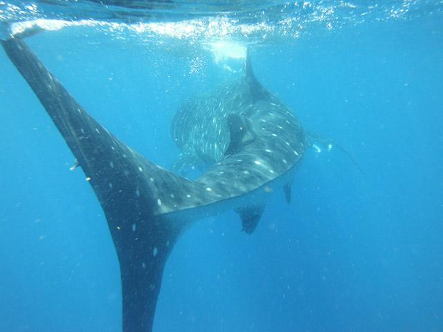 Whale shark. Source:  holboxwhalesharktours.com .