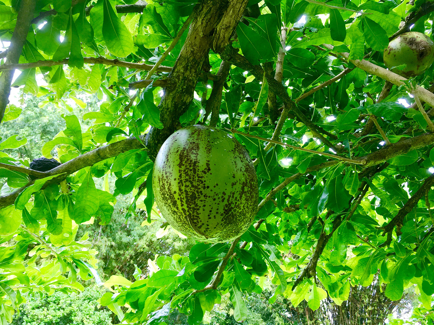 Calabash tree in the main garden.