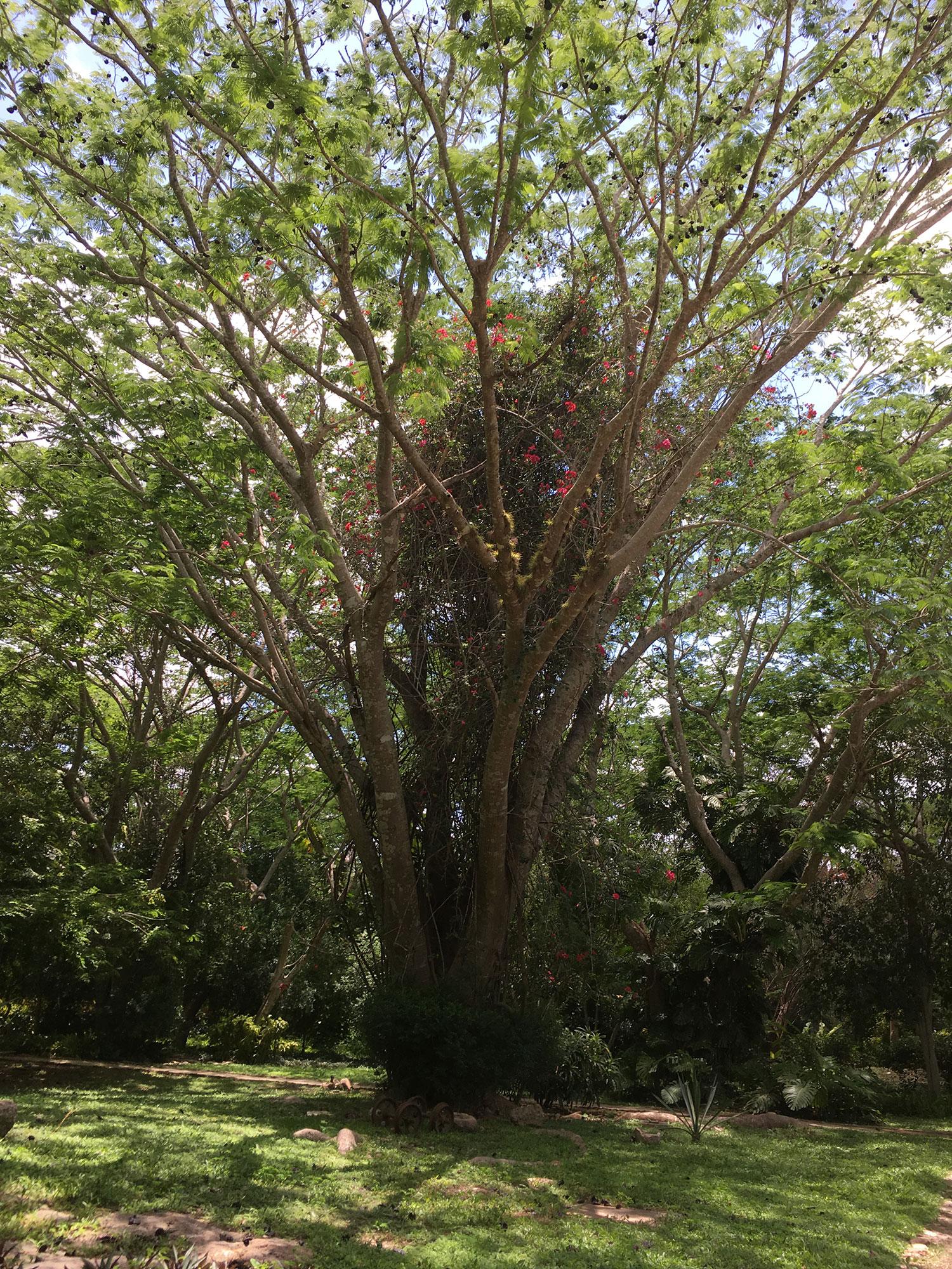 The guanacaste tree (elephant-ear tree).