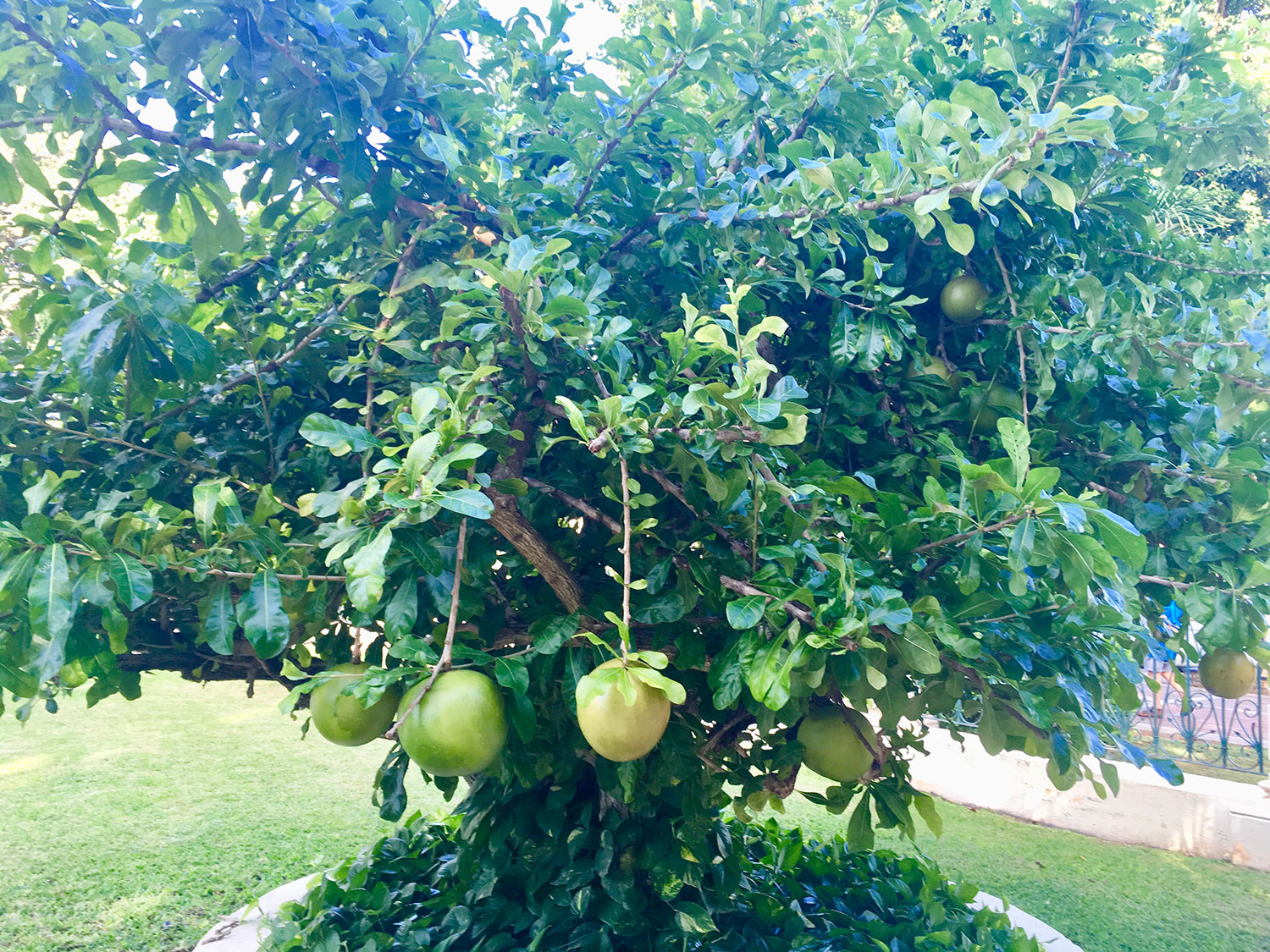 The calabash tree in the front garden.