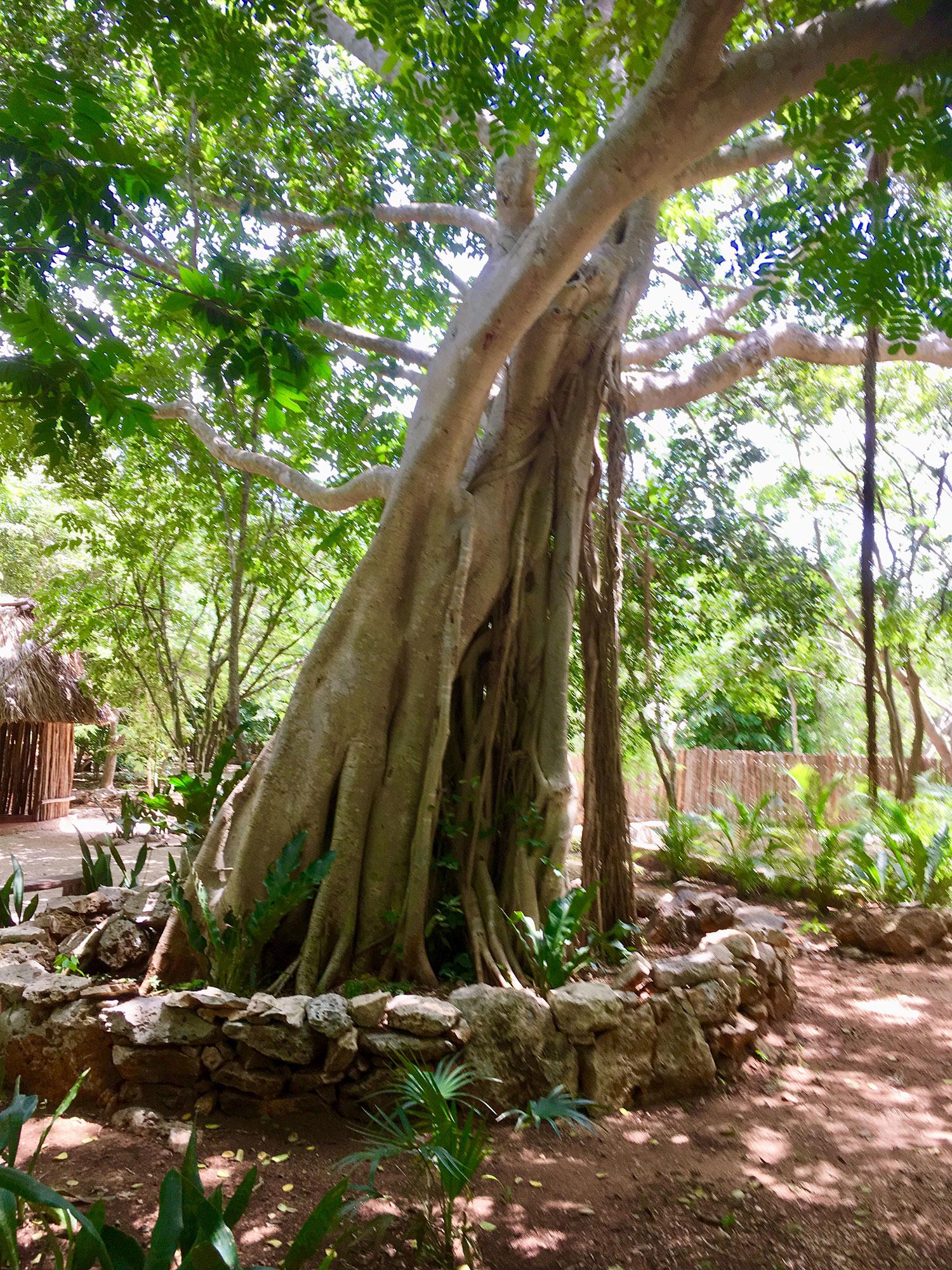 Alamo tree (cottonwood).