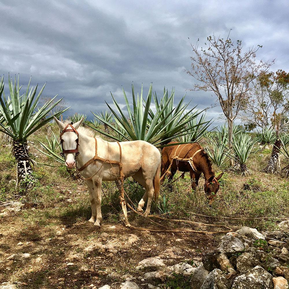 Green Gold of Yucatán -