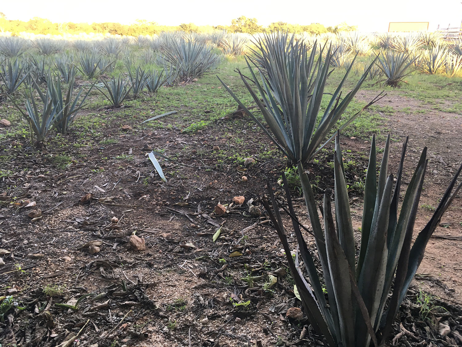 Blue agave fields.