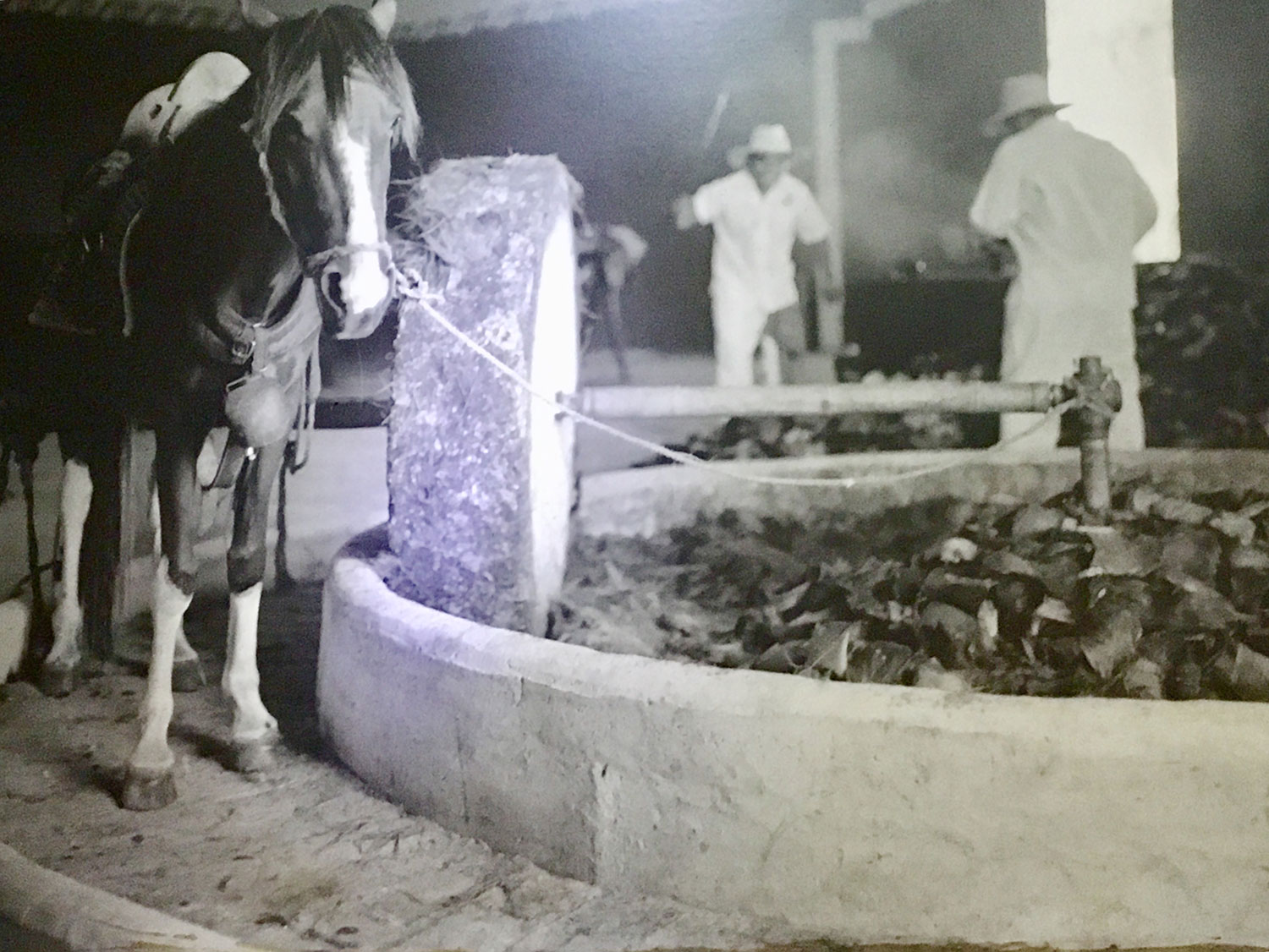 They used to crush the piñas with a grindstone pulled by a mule.