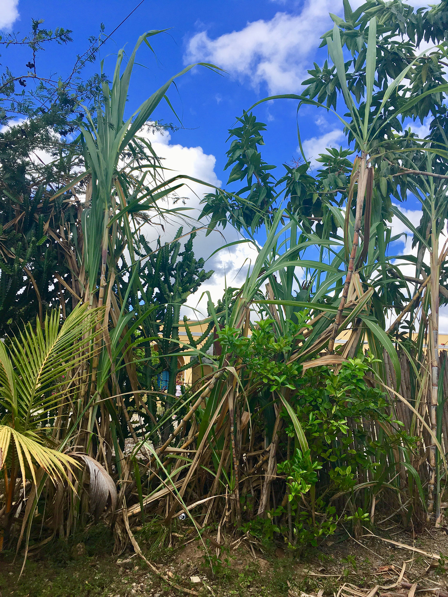 Sugar cane in the village.