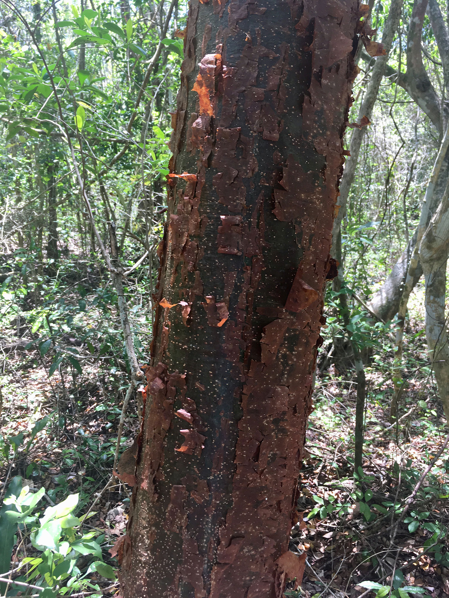 Gumbo Limbo (Chacá) tree has a copper peeling bark. The locals call them 'gringo trees' as they peel in the same way once sun-burnt.