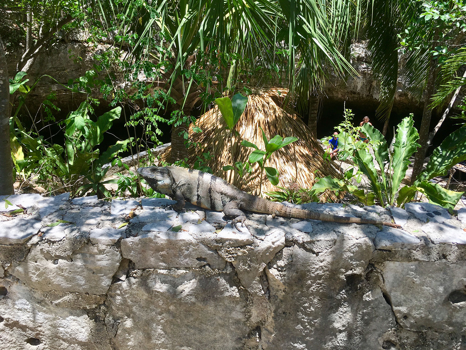Iguanas abound in the jungle villages and cenotes.