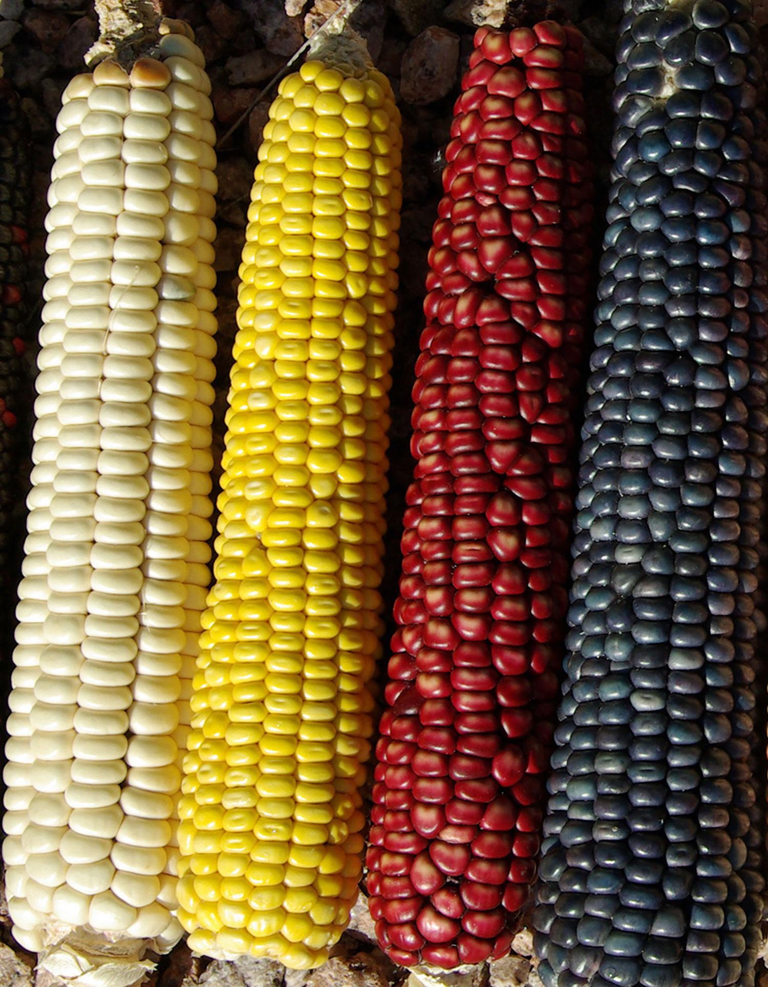 Four colours of maize.