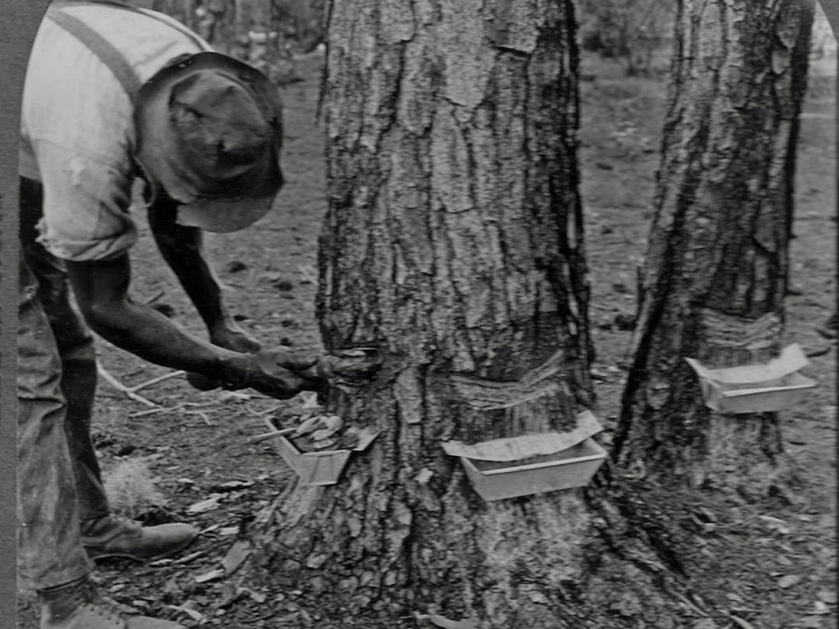Chiclero  bleeding the tree:  wikipedia.org .