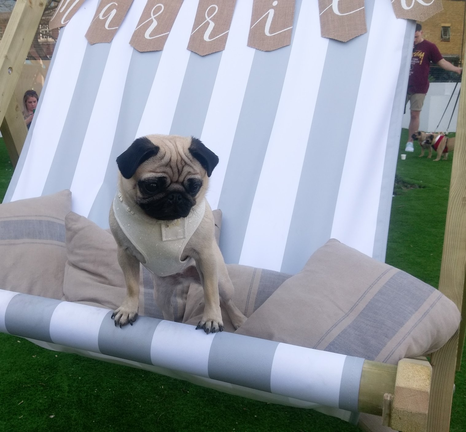 Lilly  @little_lil_pug