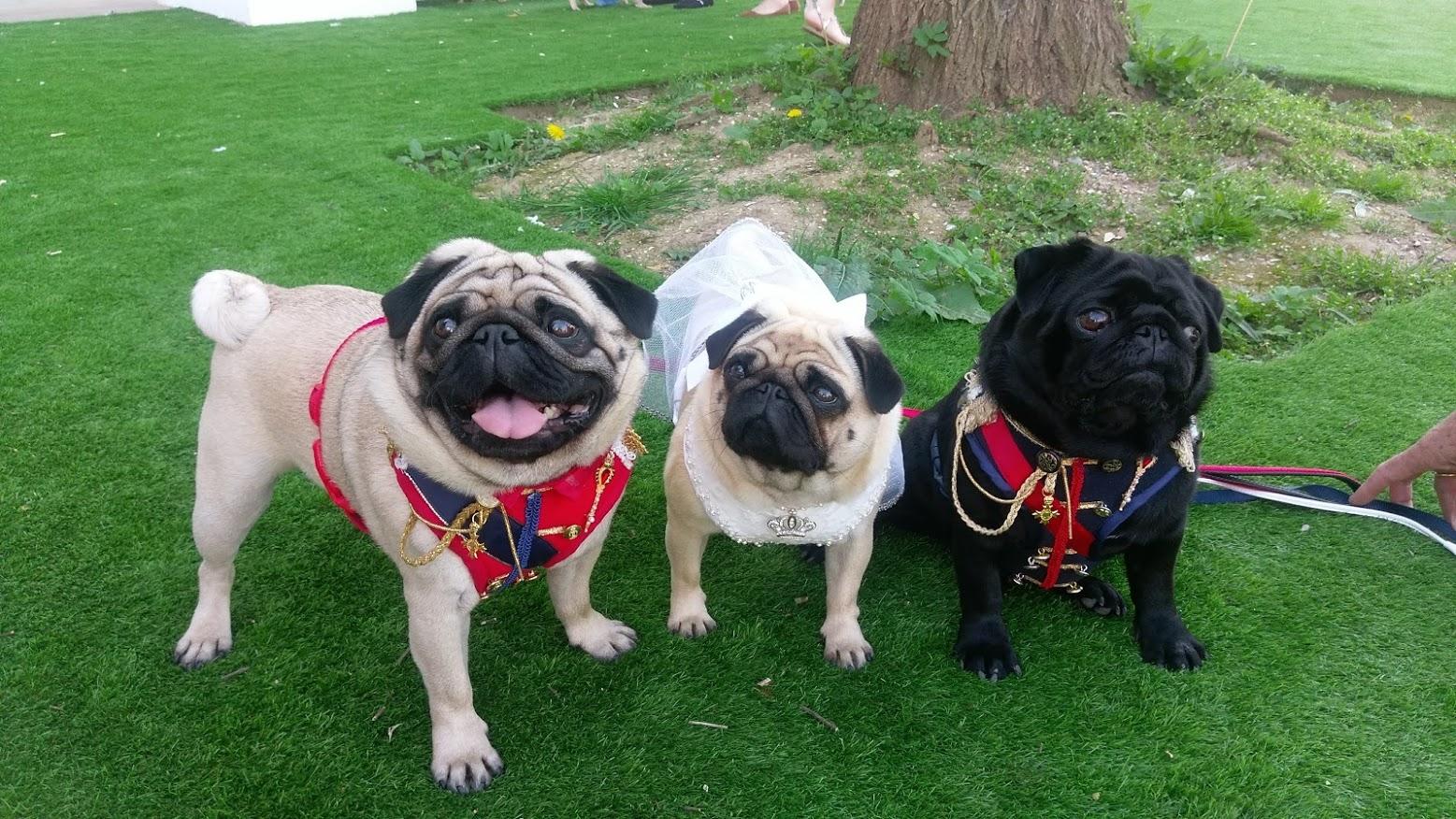 (L-R) Bruce, Daisy and Billie  @billiedaisyandbrucepugblog