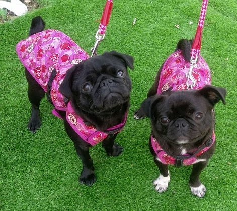 Dot and Luna ( @dotlunapug ) with wonderful outfits from  www.wagnwalkboutique.com
