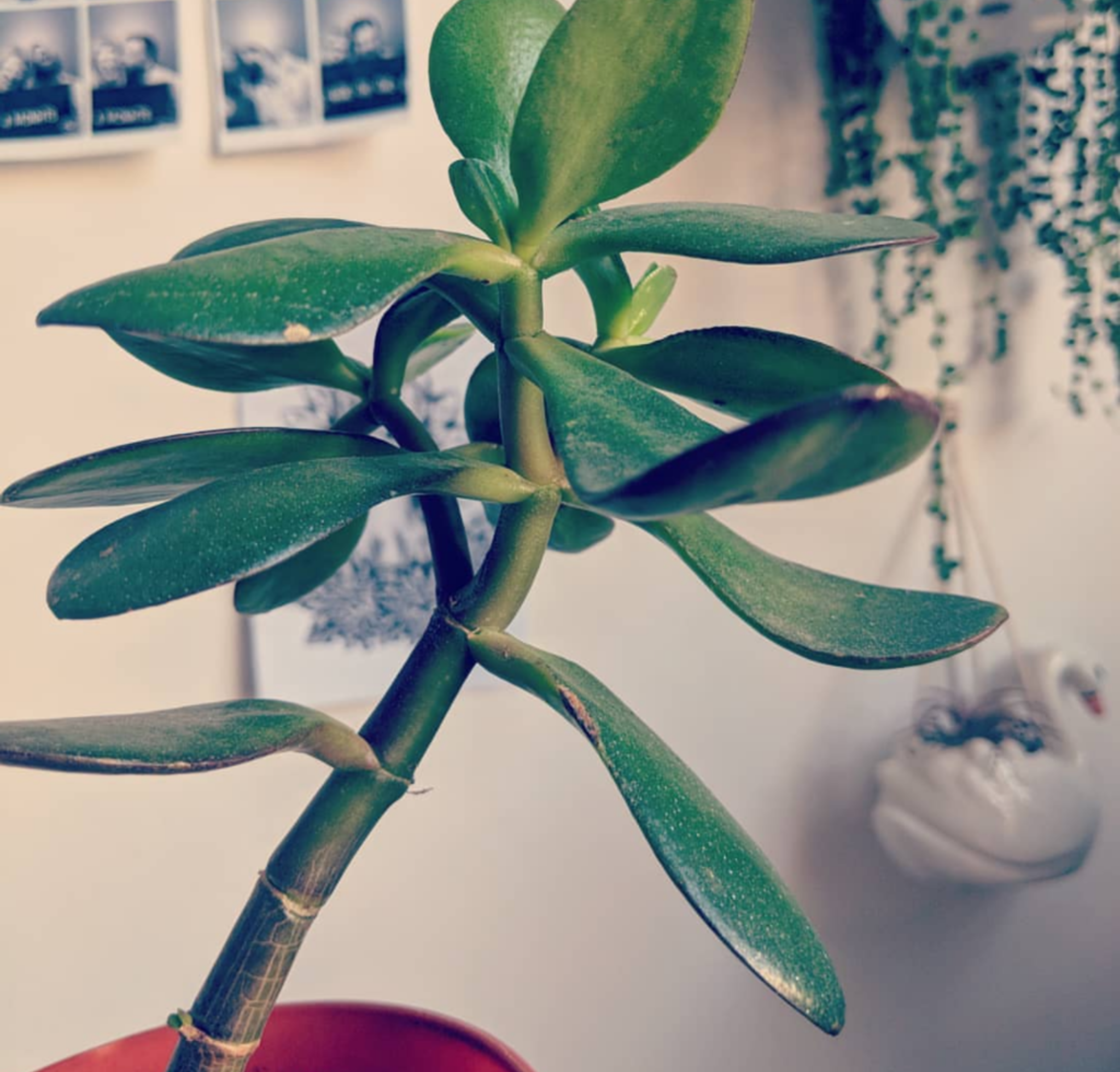 jade plant house care guide