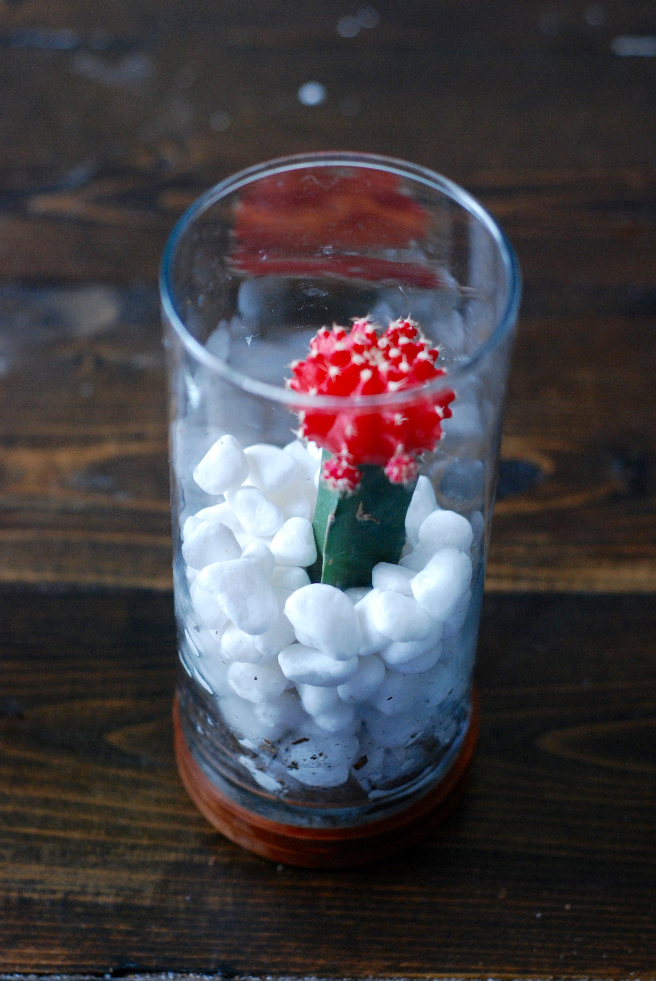 Red Cactus Succulent