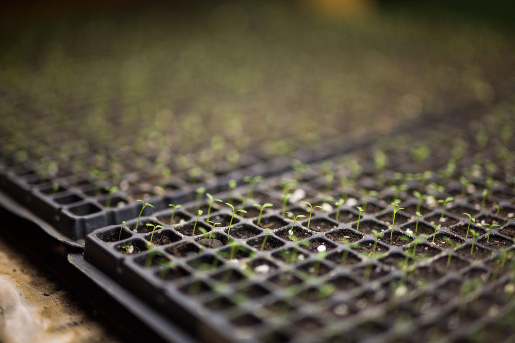 Farmer Chris' seedlings.