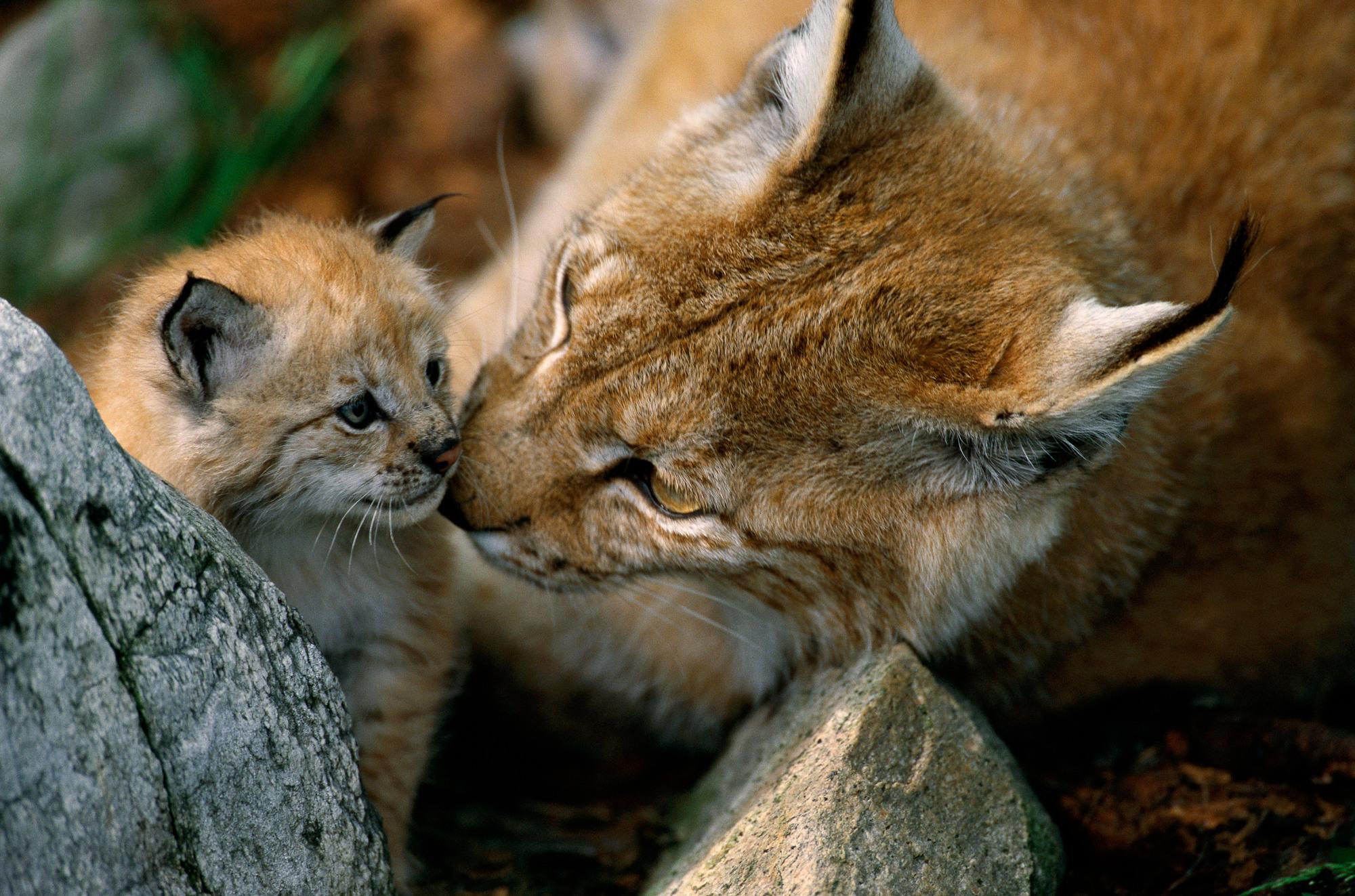 Eurasian Lynx (Lynx lynx), captive female and kitten, Norway.