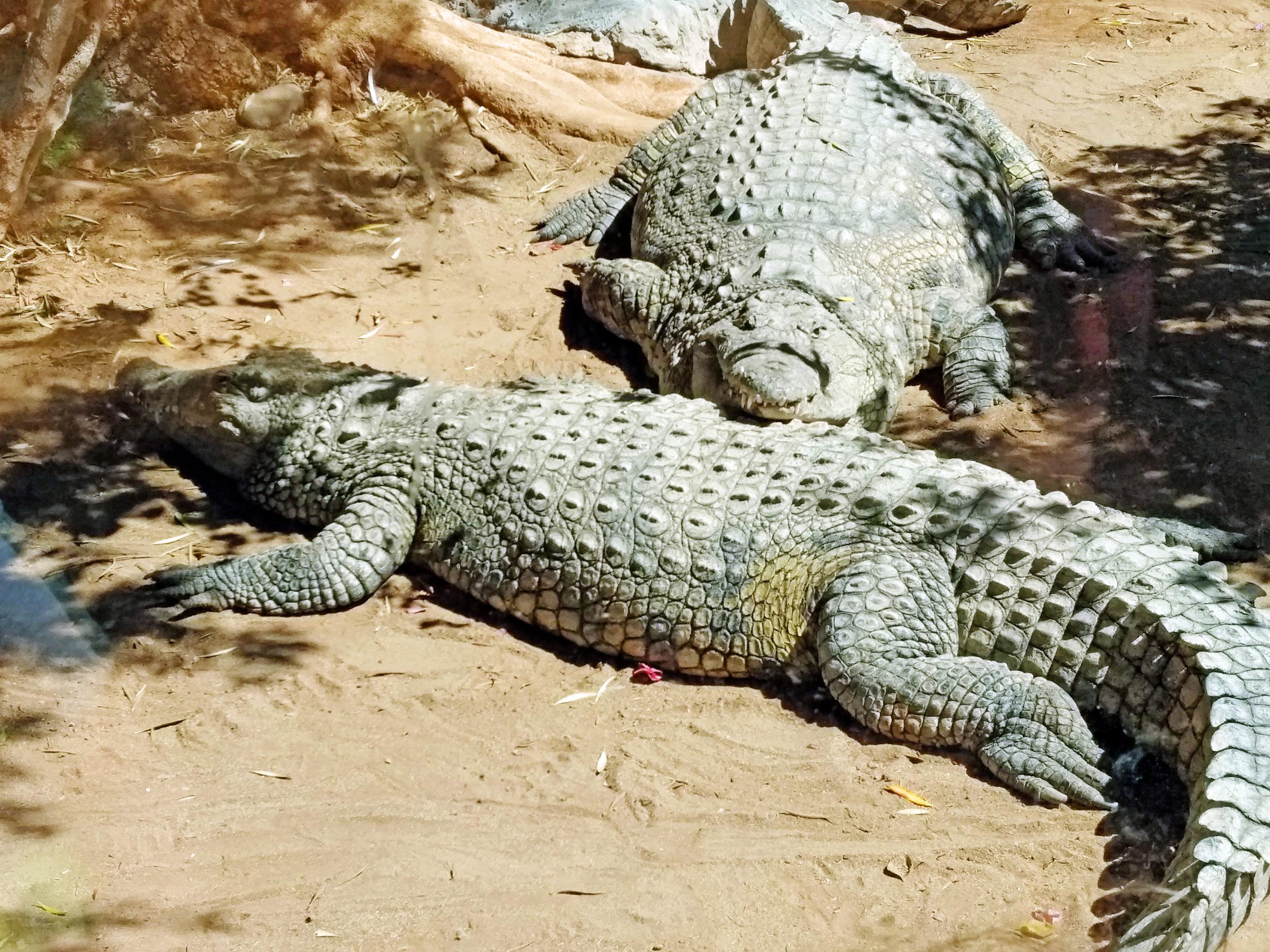 Nil-krokodillane liker å halde saman i store flokkar.