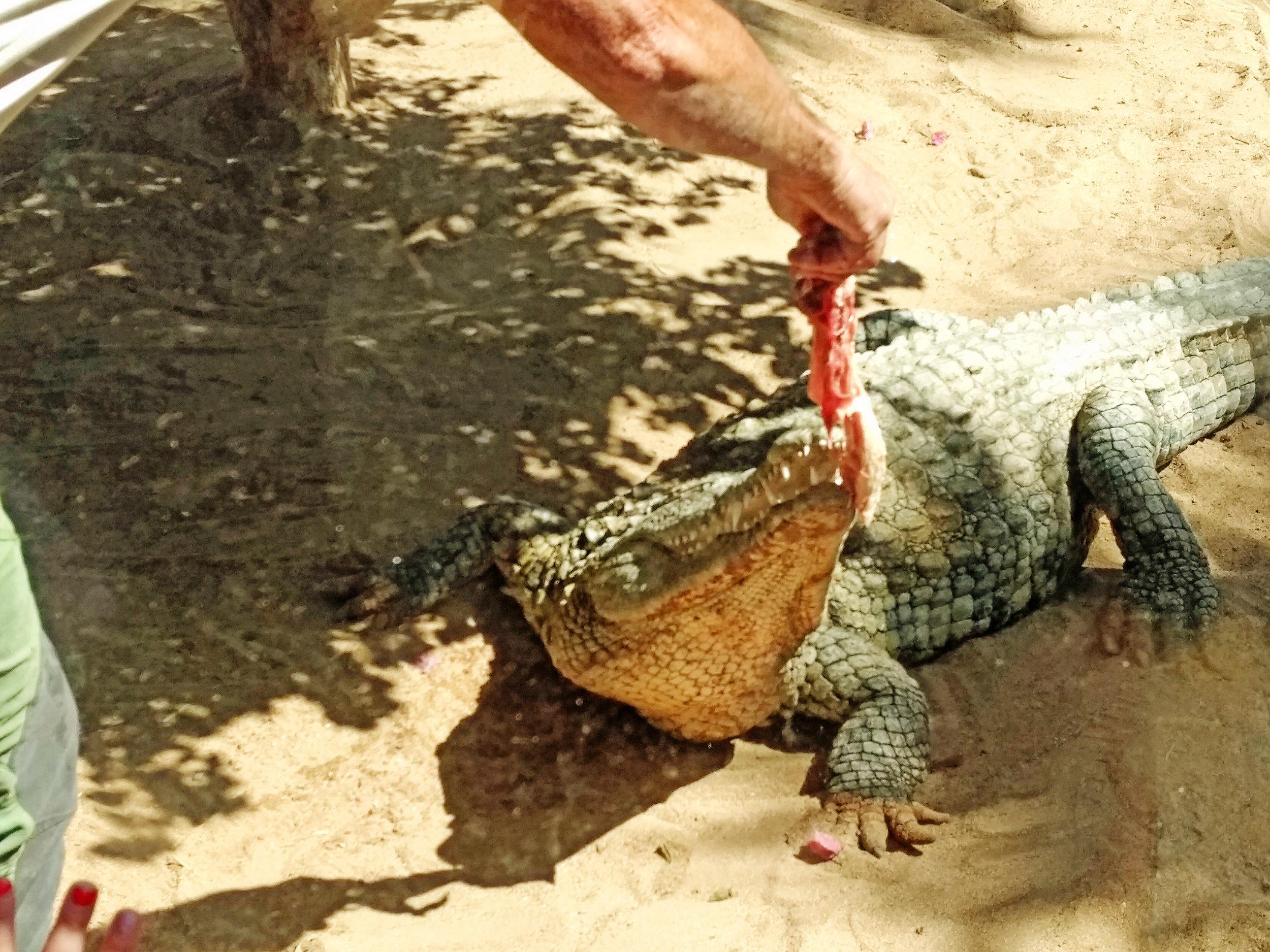 Om vinteren er krokodillane ikkje særleg svoltne.