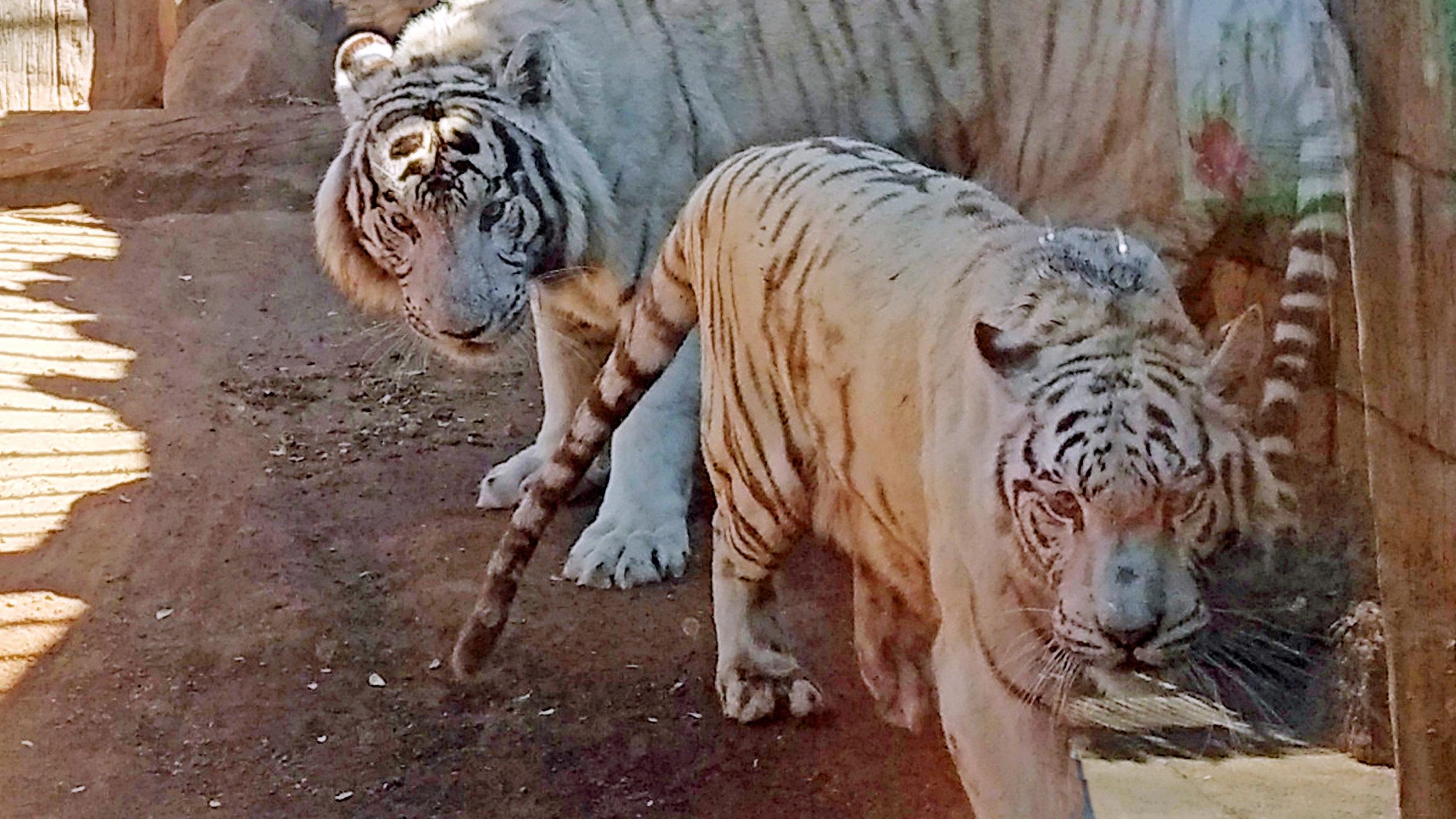 Desse to bengalske tigrane, ein hann og ei ho, var svært interesserte i kvarandre.