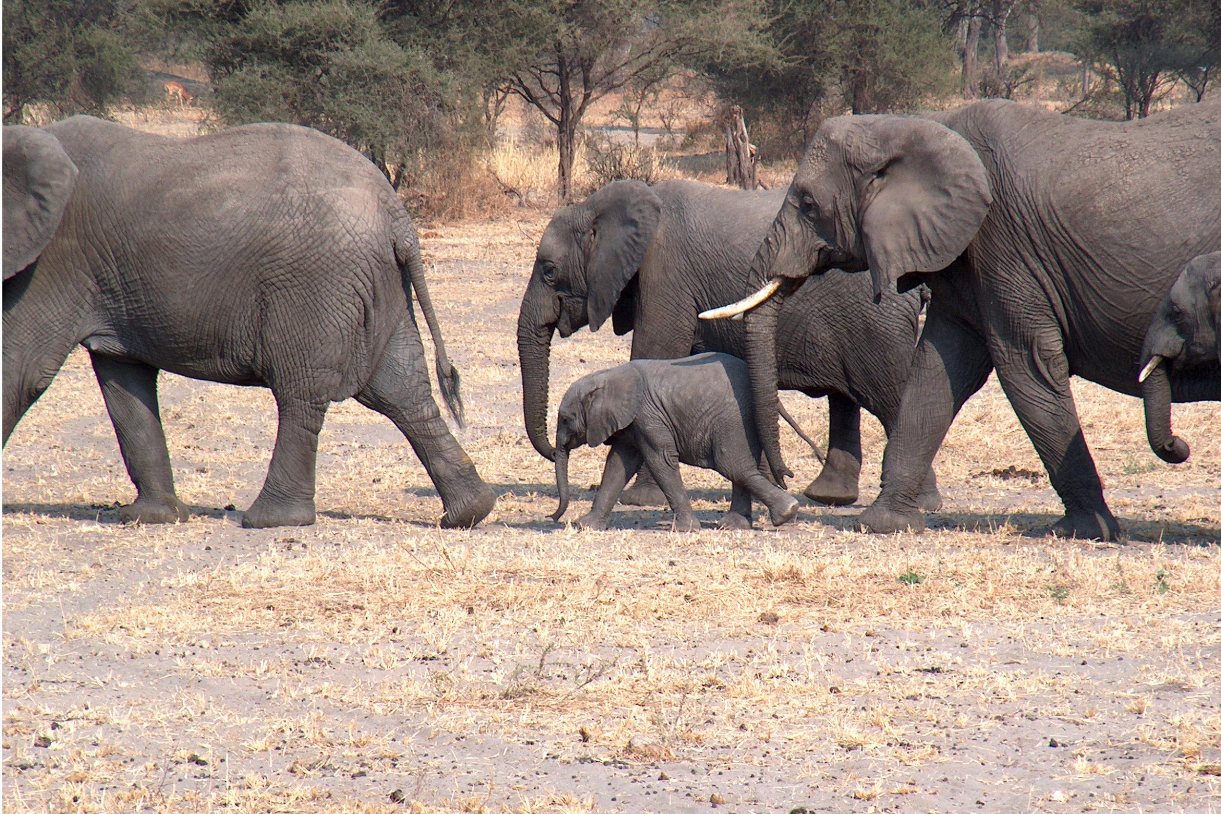 Elefantane har eit hemmeleg språk, hemmeleg på den måten at det har så låg frekvens at vi menneske ikkje kan oppfatte det med høyrsla. Eit menneske kan høyre lyd med frekvens mellom 20 og 20 000 hertz (svinging per sekund), medan ein elefant kan høyre så lågt ned som 14 hertz.