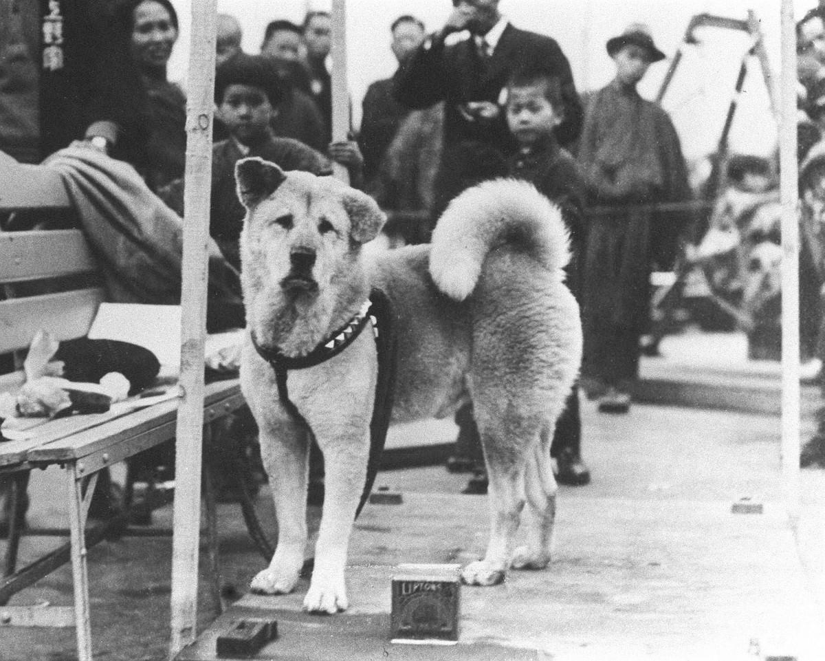 Kvar dag i 9 år, 9 månadar og 15 dagar venta Hachiko på professor Ueno. Han møtte opp presis når toget til professoren var venta inn på stasjonen.