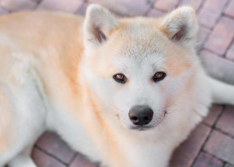 Forteljinga om trufaste Hachiko var med å redda den japanske hunderasen akita frå å døy ut.
