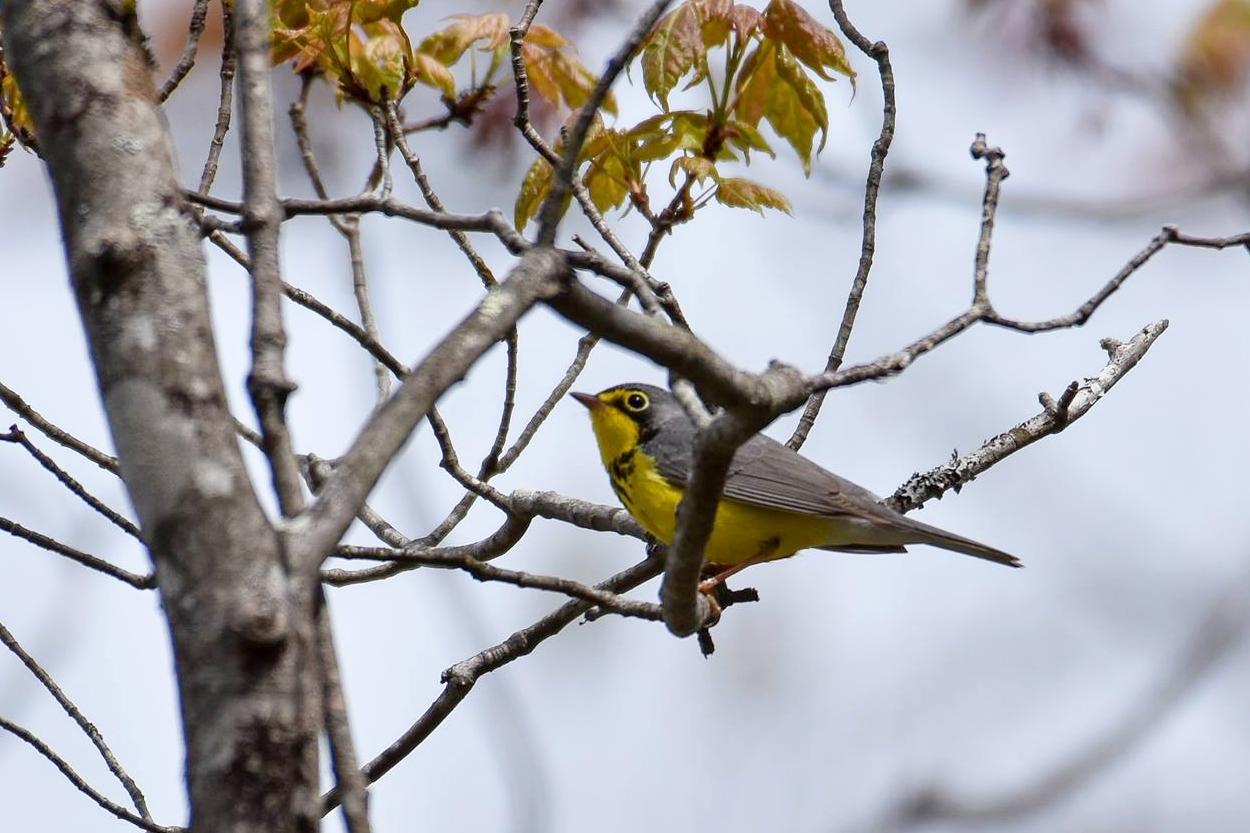 Canada Warbler by Seth Davis