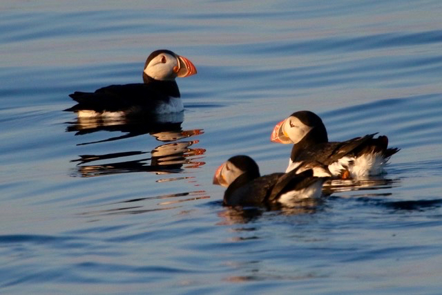 A circus of puffins