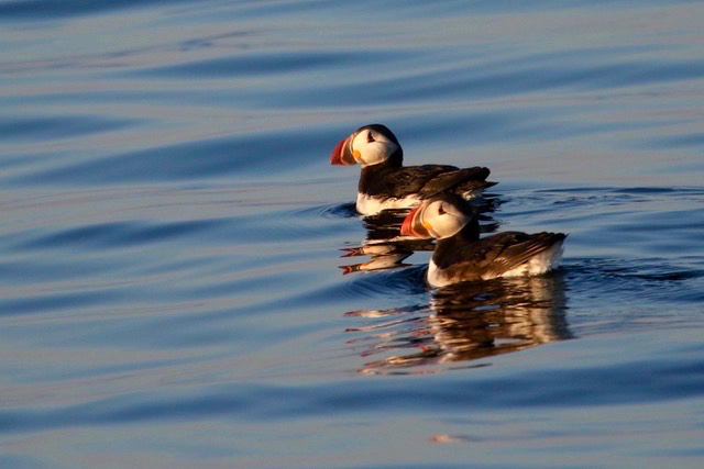 Pair of puffins