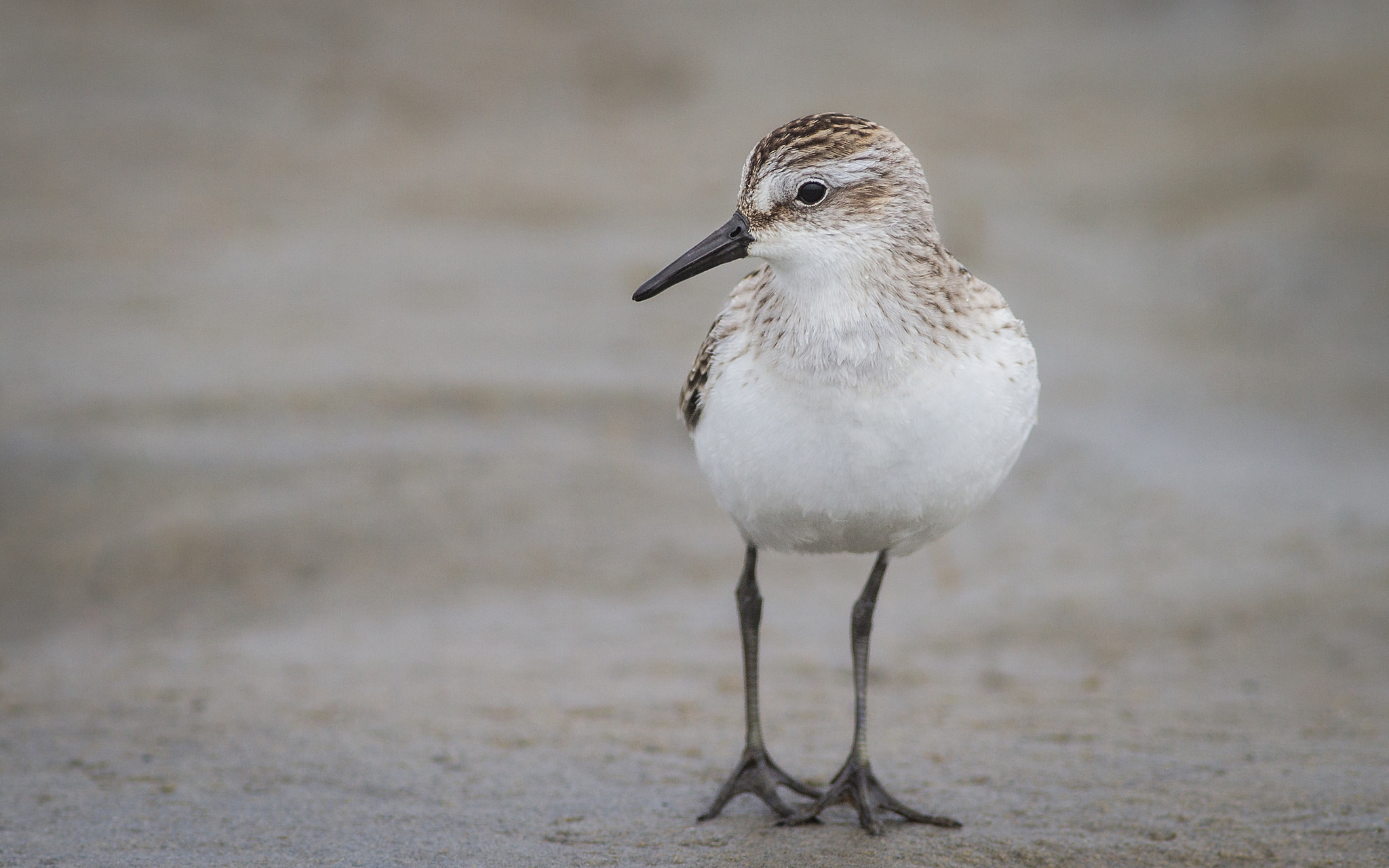 Semipalmated Sandpiper by Fyn Kynd