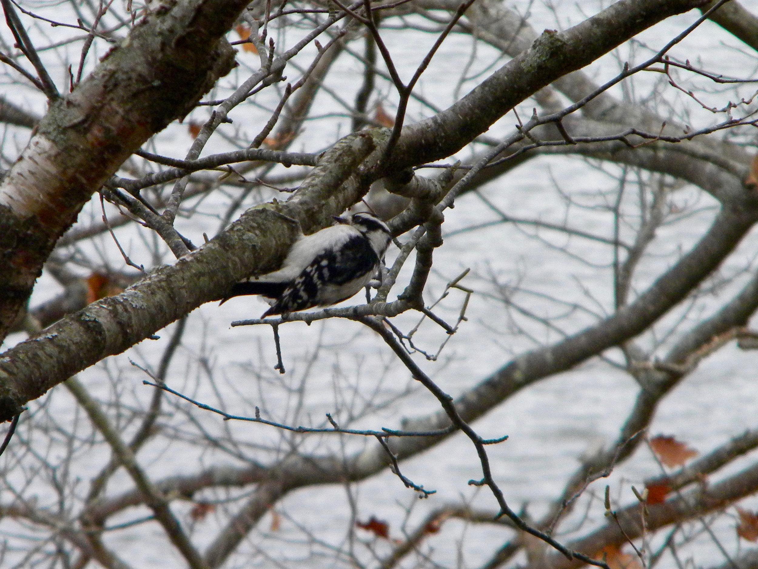 Downy Woodpecker.  Photo by young birder Garrett Erickson-Harris