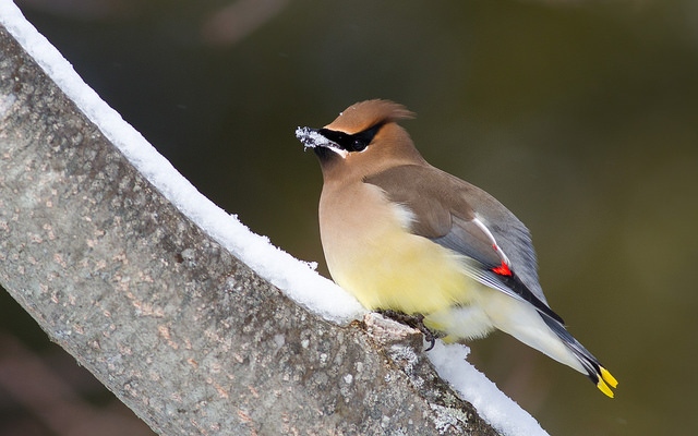 Cedar Waxwing.  Photo by Fyn Kynd.