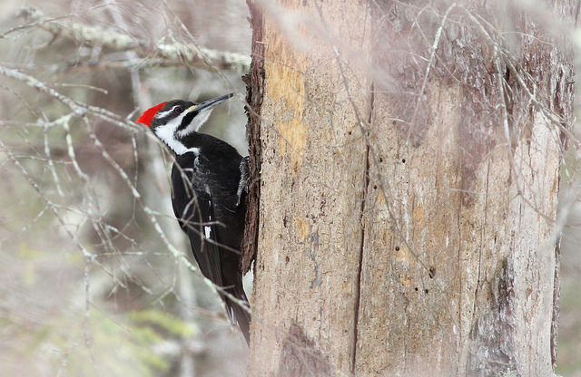 Pileated Woodpecker.  Photo by Fyn Kynd.