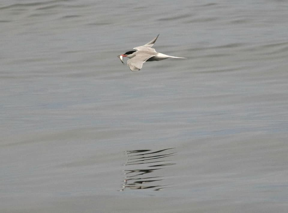Common Tern with a fish