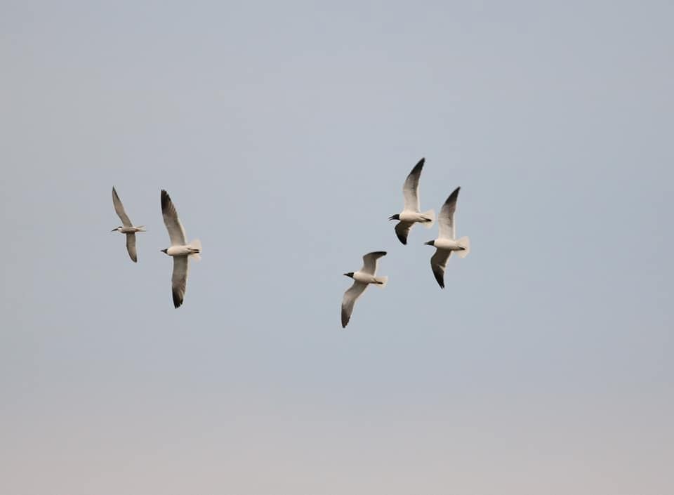 Laughing Gulls chasing a Common Tern