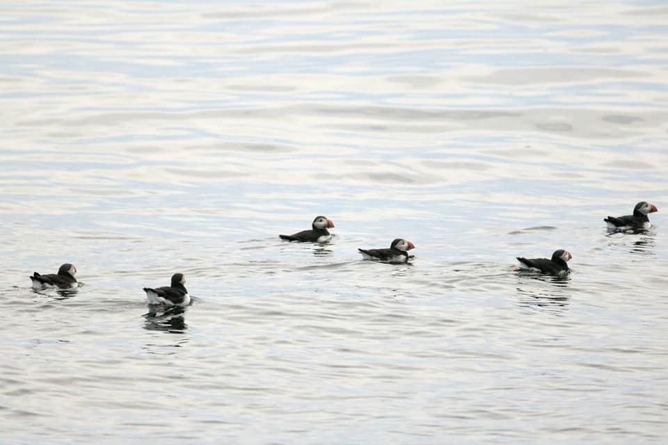 Raft of Atlantic Puffins