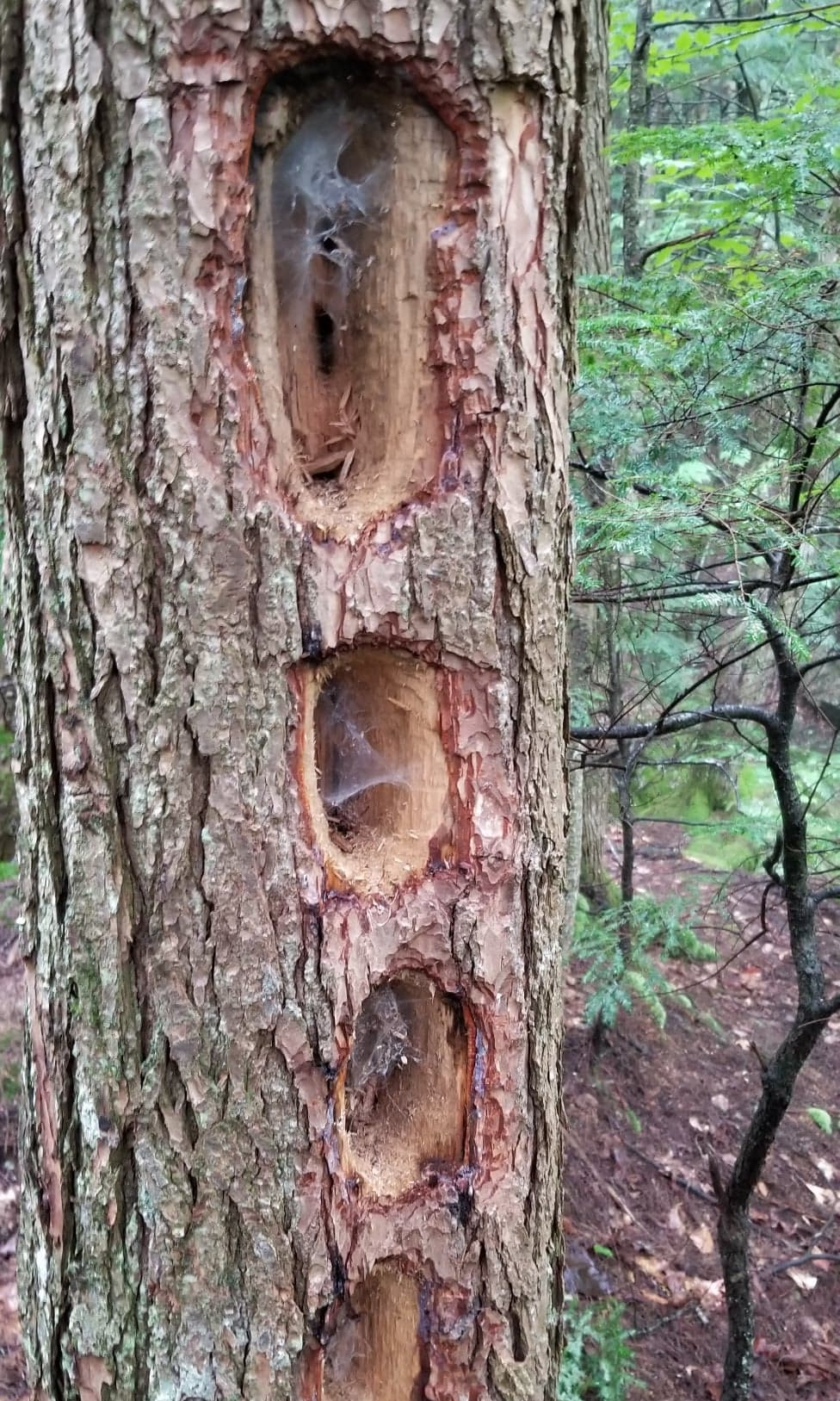 Cool evidence of a Pileated Woodpecker's work.