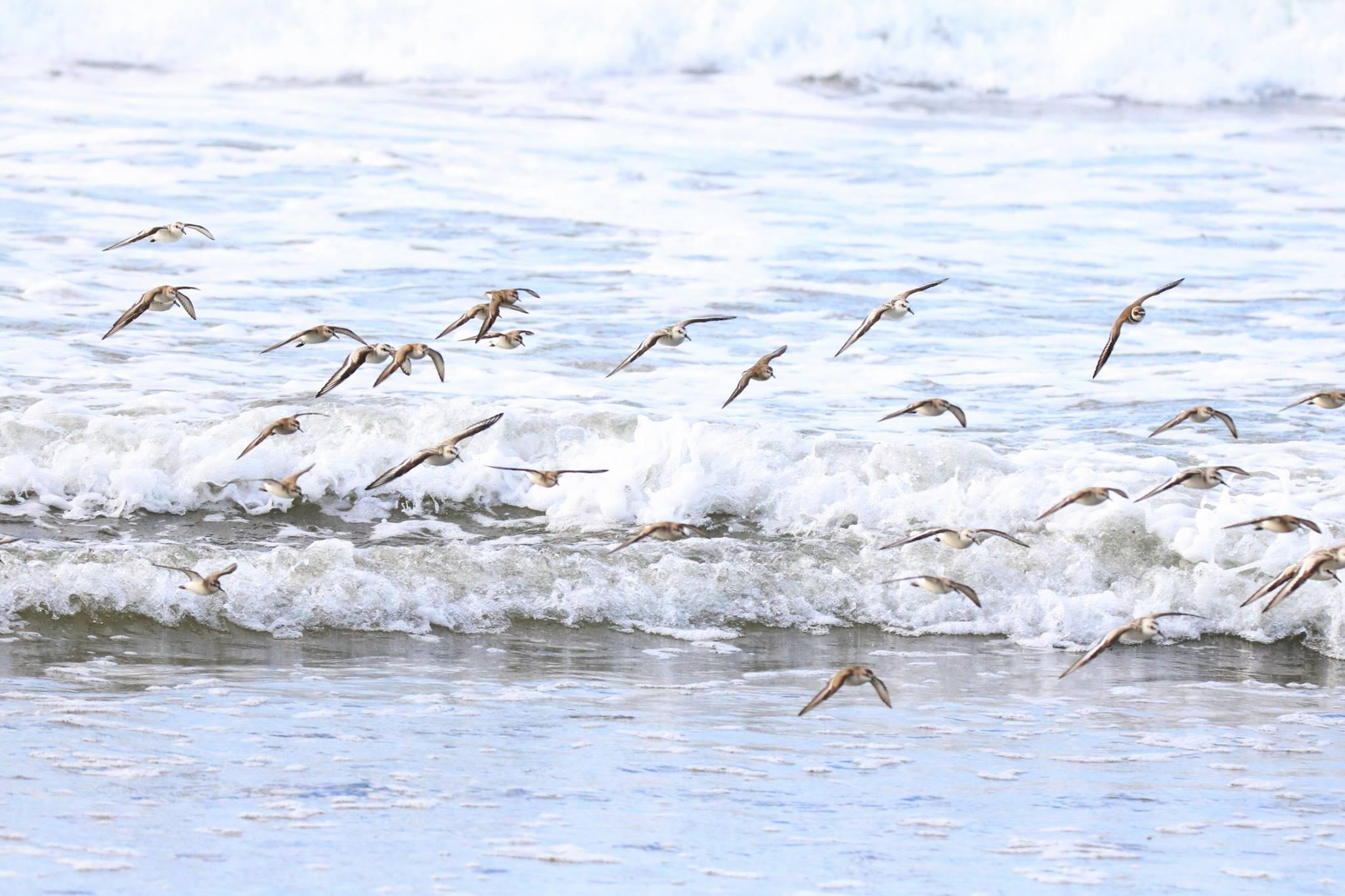 Shorebirds in the surf.