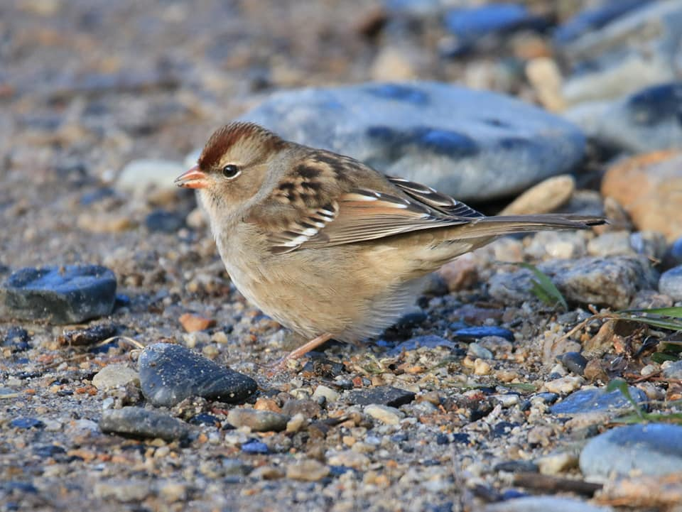 Young White-crowned Sparrow