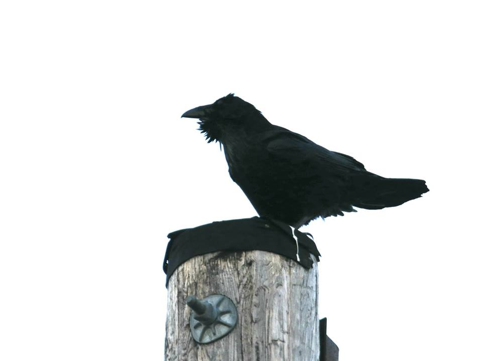 Common Raven showing off its beard
