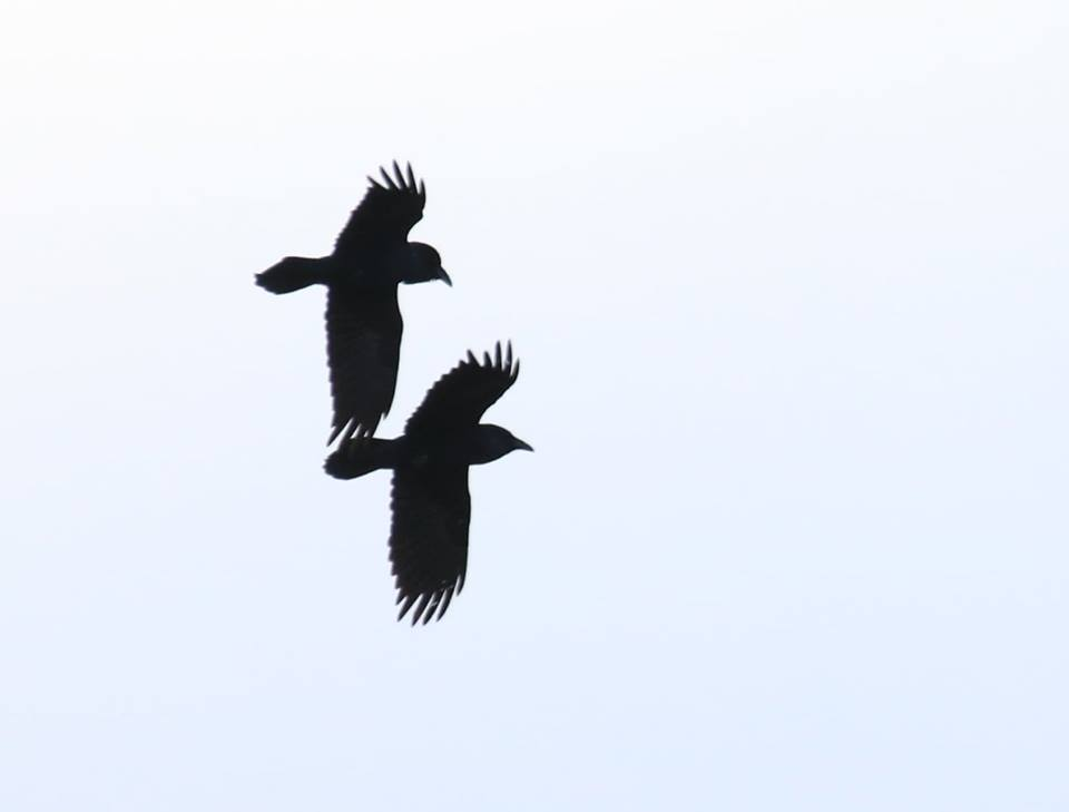 Common Raven pair flying in sync.