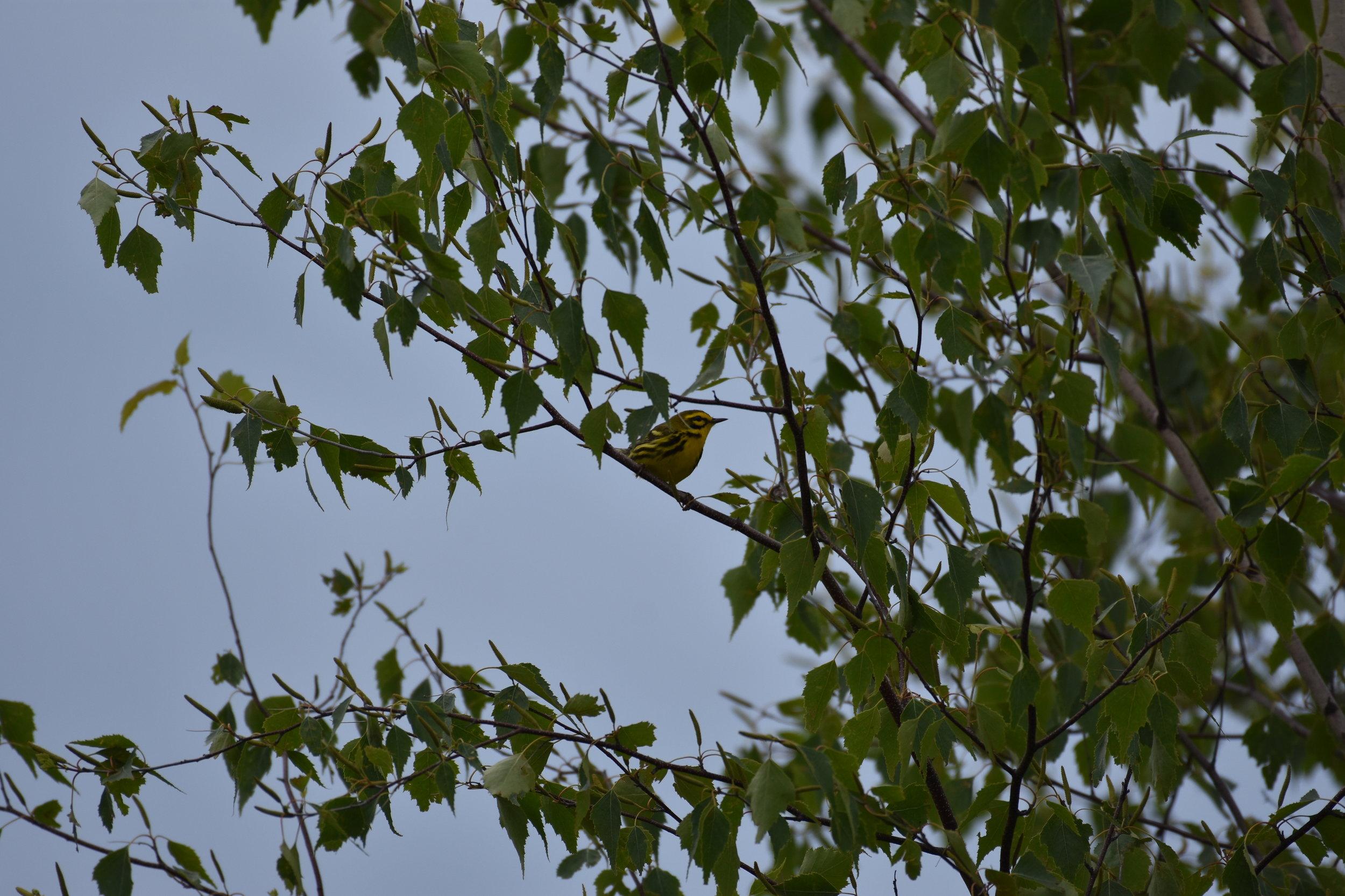 Beautiful Prairie Warbler