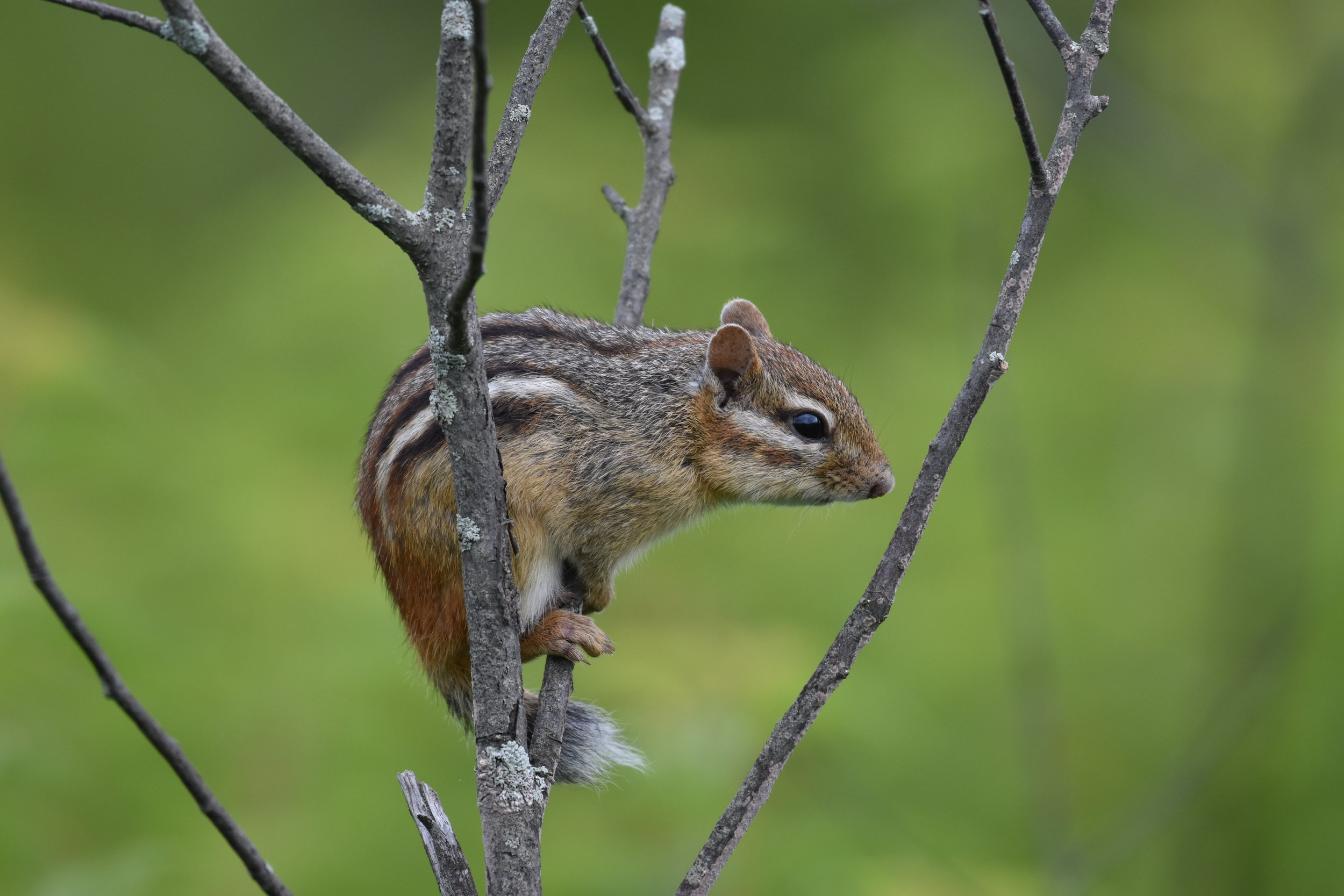 Chipmunk. We're pretty certain it was found in the exact same place last year!