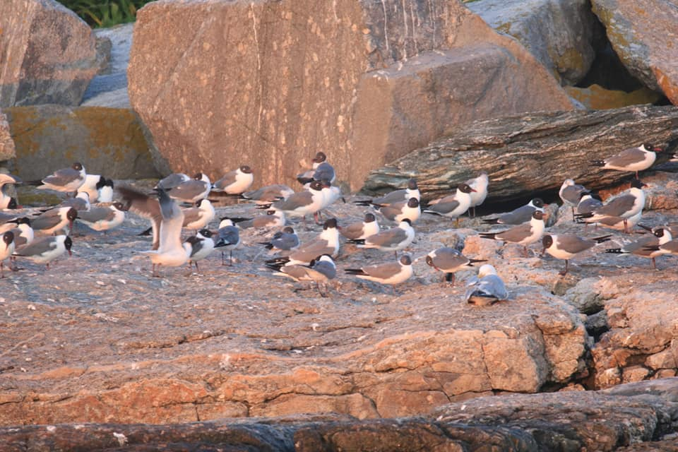 Laughing Gulls (mostly) on Eastern Egg Rock