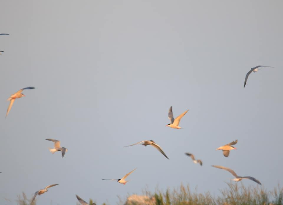 Terns in flight over Eastern Egg Rock