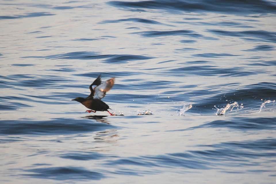 Black Guillemot running along the water before take-off