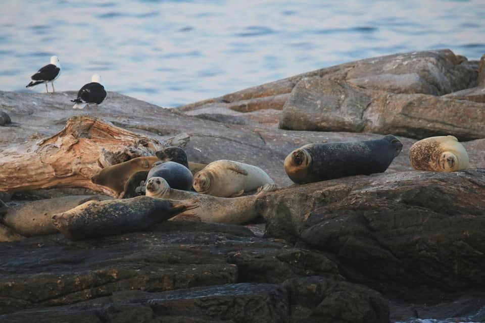 Seals and Great Black-backed Gulls