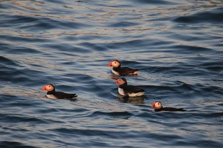 Raft of puffins