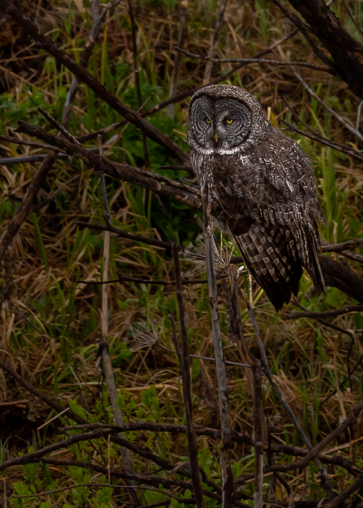 Here is the female Great Grey Owl.